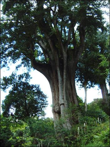 壁纸 树 榕树 350_467 竖版 竖屏 手机